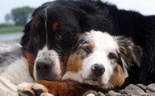 Собаки понимают слова человека гораздо лучше, чем считали ученые